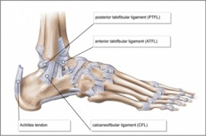 455px-Lateral-ankle-ligaments