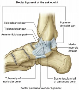 medial-ankle-ligaments-and-bones